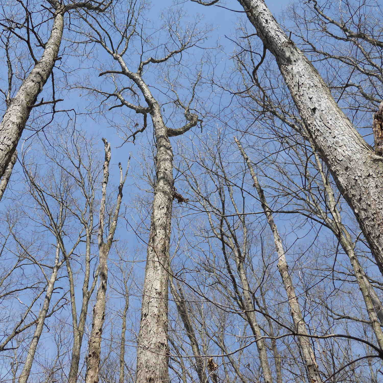 dead oak trees caused by overcrowding