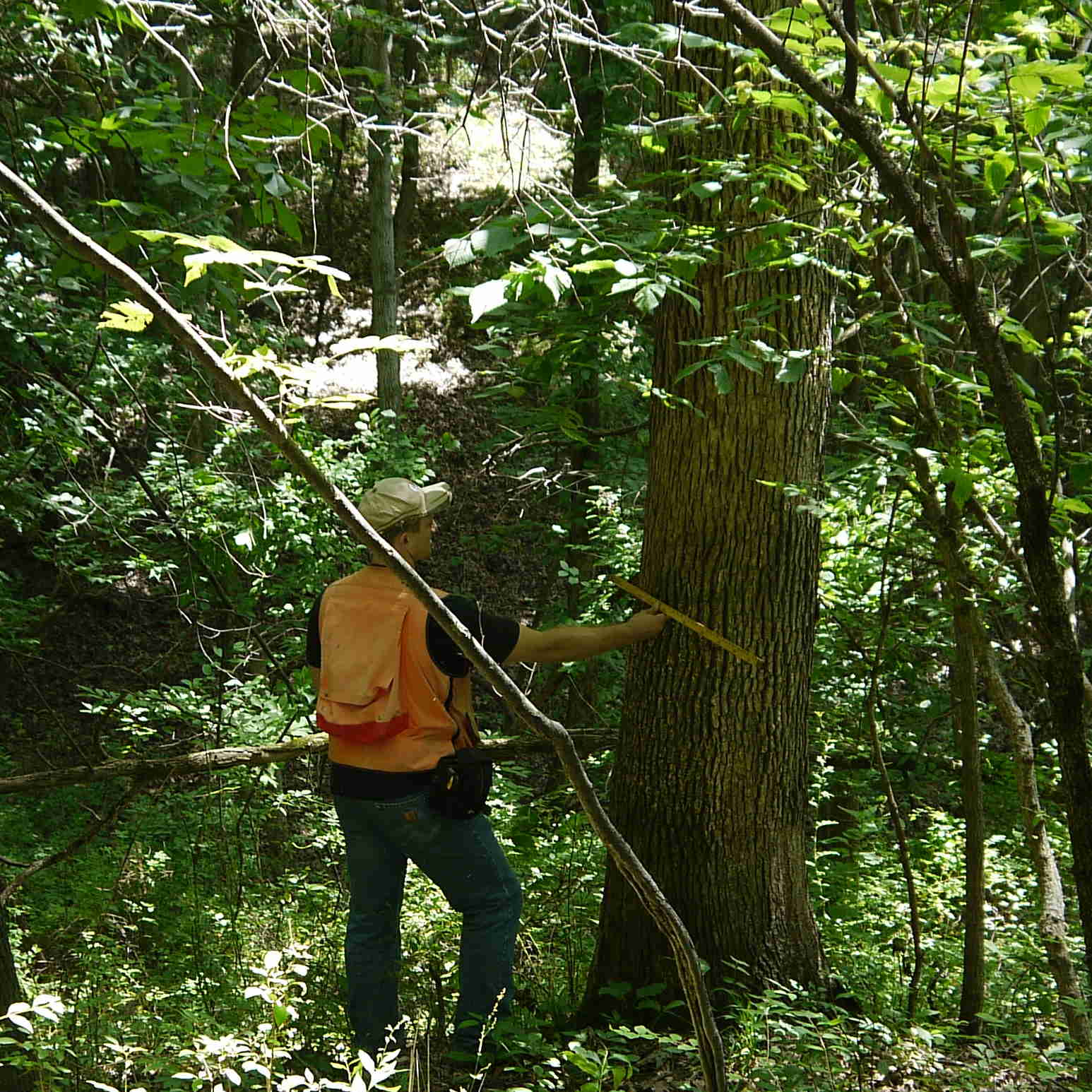 Illinois forester measuring tree